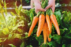 Hands holding carrots in garden - stock photo