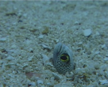 Spotted garden eel feeding, Heteroconger hassi, UP10458 Stock Footage