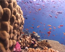 Ocean scenery hard corals, anthias, on shallow coral reef, UP10480 Stock Footage