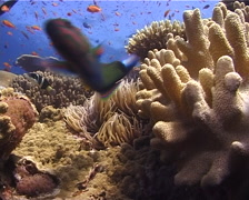 Ocean scenery wrasse looks into camera lens, on shallow coral reef, UP10482 Stock Footage
