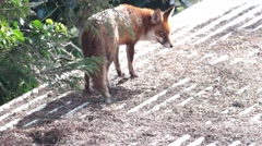 Urban red fox stretching and sunning itself in the roof of a west London garden Stock Footage