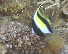 Moorish idol feeding, Zanclus cornutus, UP10502 Stock Footage