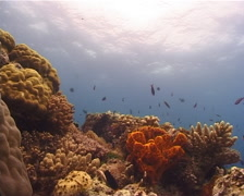 Ocean scenery hard corals, surface, on shallow coral reef, UP10519 Stock Footage