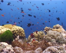 Ocean scenery damsels, turtle weed, on shallow coral reef, UP10521 Stock Footage