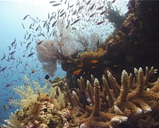 Ocean scenery hard coral, fans, hydroids, anthias, on shallow coral reef, Stock Footage