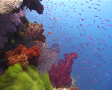 Ocean scenery beautiful, colourful reef, on shallow wall, UP10524 Stock Footage