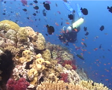 Expert diver with perfect buoyancy swimming on shallow coral reef with Threespot Stock Footage