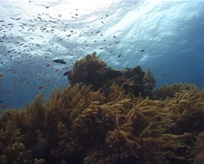 Slimy leather coral feeding, Sinularia flexibilis, UP10543 Stock Footage