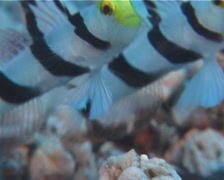 Yellownose shrimpgoby hovering, Stonogobiops xanthorhinica, UP10556 Stock Footage
