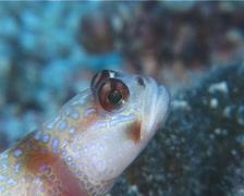 Ellipse shrimpgoby, Amblyeleotris ellipse, UP10562 Stock Footage