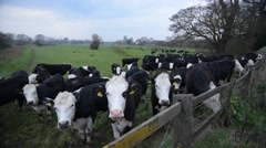 A herd of Friesian Cows In a field Stock Footage