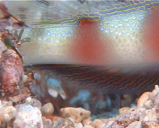 Beautiful goby shrimp housekeeping, Alpheus bellulus, UP10563 Stock Footage
