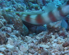 Beautiful goby shrimp housekeeping, Alpheus bellulus, UP10565 Stock Footage