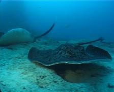 Black-blotched stingray swimming, Taeniura meyeni, UP10581 Stock Footage