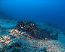 Black-blotched stingray swimming, Taeniura meyeni, UP10578 Stock Footage