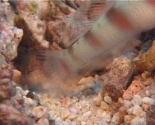 Steinitzs shrimpgoby, Amblyeleotris steinitzi, UP10594 Stock Footage