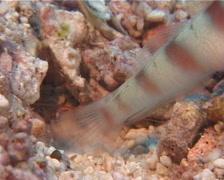 Steinitzs shrimpgoby, Amblyeleotris steinitzi, UP10595 Stock Footage