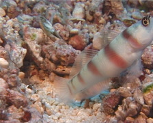 Steinitzs shrimpgoby feeding, Amblyeleotris steinitzi, UP10593 Stock Footage