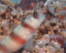 Steinitzs shrimpgoby, Amblyeleotris steinitzi, UP10596 Stock Footage