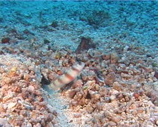 Steinitzs shrimpgoby, Amblyeleotris steinitzi, UP10597 Stock Footage