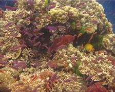 Coral cod swimming, Cephalopholis miniata, UP10606 Stock Footage