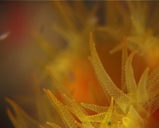 Unidentified common yellow cup corals feeding at night, Tubastrea sp. Video Stock Footage
