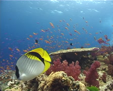 Lined butterflyfish swimming on shallow coral reef, Chaetodon lineolatus, Stock Footage