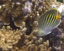 Dot-and-dash butterflyfish feeding, Chaetodon pelewensis, UP10642 Stock Footage