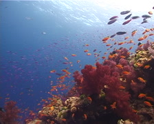 Ocean scenery soft corals, on shallow coral reef, UP10634 Stock Footage