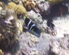 Blackbar wrasse swimming, Thalassoma nigrofasciatum, UP10641 - stock footage