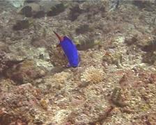 Juvenile Masked grouper swimming, Gracila albomarginata, UP10661 Stock Footage