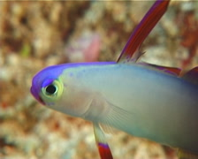 Decorated dartfish darting, Nemateleotris decora, UP10663 Stock Footage