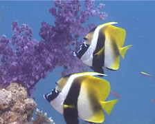 Masked bannerfish swimming, Heniochus monoceros, UP10688 Stock Footage