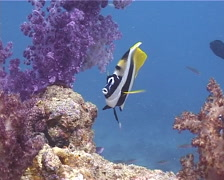 Masked bannerfish swimming, Heniochus monoceros, UP10689 Stock Footage