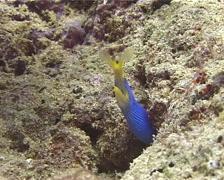 Blue ribbon eel gaping, Rhinomuraena quaesita, UP10695 Stock Footage