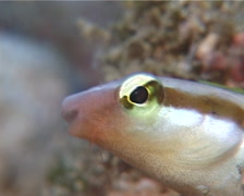 Lance blenny hiding, Aspidontus dussumieri, UP10712 Stock Footage