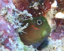 Bicolor coralblenny feeding, Ecsenius bicolor, UP10710 Stock Footage