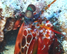Peacock smasher mantis shrimp preening, Odontodactylus scyllarus, UP10727 Stock Footage