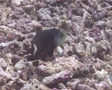 Rockmover wrasse feeding, Novaculichthys taeniourus, UP10721 Stock Footage
