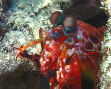 Peacock smasher mantis shrimp, Odontodactylus scyllarus, UP10733 Stock Footage