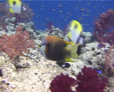 Slingjaw wrasse hunting, Epibulus insidiator, UP10737 Stock Footage