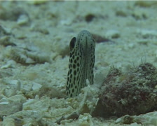 Spotted garden eel feeding, Heteroconger hassi, UP10748 Stock Footage