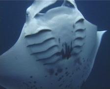 Reef manta ray feeding, Manta alfredi, UP10742 Stock Footage