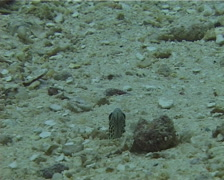 Spotted garden eel feeding, Heteroconger hassi, UP10747 Stock Footage