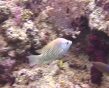 Latent slingjaw wrasse hunting, Epibulus brevis, UP10736 Stock Footage