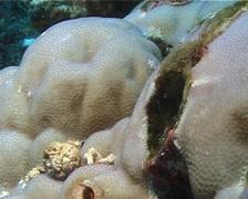 Bluestriped fangblenny hiding, Plagiotremus rhinorhynchos, UP10773 Stock Footage