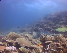 Ocean scenery hard coral garden, on shallow coral reef, UP10793 Stock Footage