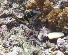 Black-saddle toby feeding, Canthigaster valentini, UP10799 Stock Footage