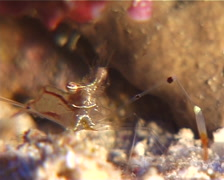 Longarm sand glass shrimp feeding, Periclimenes tenuipes, UP10801 Stock Footage