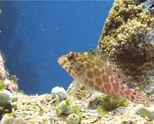 Pixy hawkfish, Cirrhitichthys oxycephalus, UP10822 Stock Footage